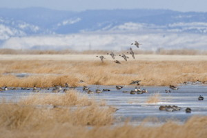 Malheur Lake Duck Northern pintail ducks coming in for a landing in the late fall at Malheur National Wildlife Refuge
